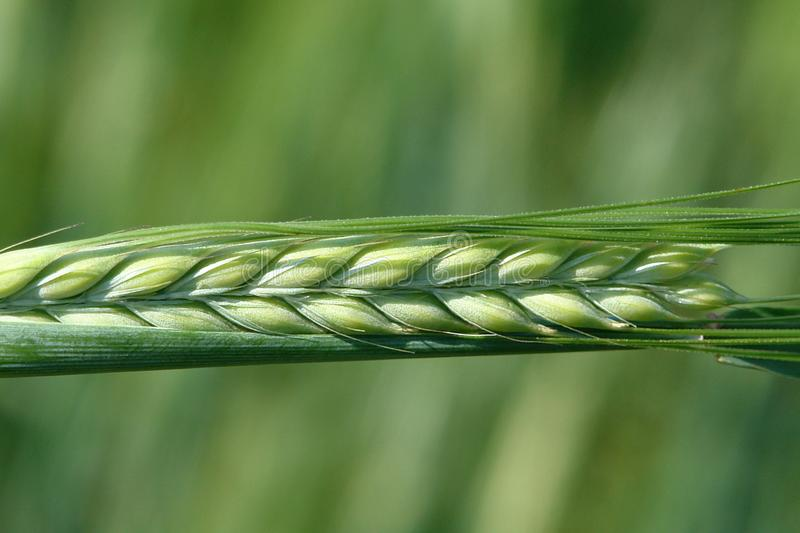 Nice pictures. Plant. Spikelet. Macro shooting. Nice pictures. Picture taken in the summer. Green spikelet. Macro shooting vector illustration