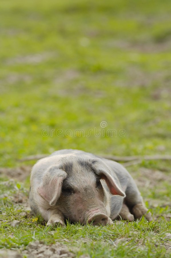 Download Nice pig sleeping. stock photo. Image of nature, funny - 1798976