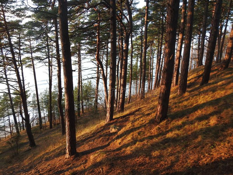 Beautiful pine trees on Baltic sea coast, Lithuania. Nice pine tree forest near Baltic sea in sunset colors royalty free stock photo