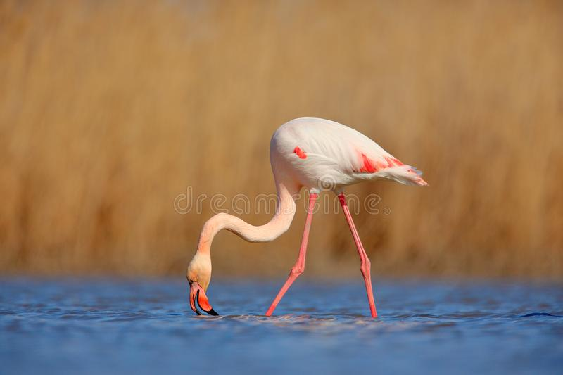 Nice pink big bird Greater Flamingo, Phoenicopterus ruber, in the water, with evening sun, Camargue, France. Wildlife scene in nat stock image