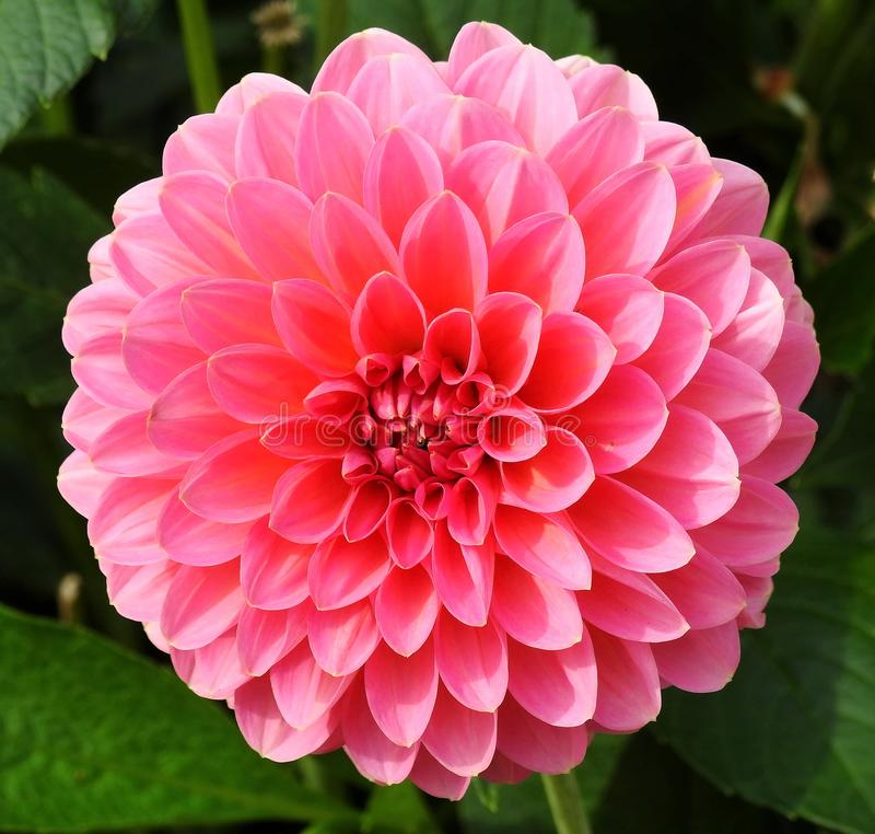 Pink dahlia  flower in in garden, lithuania stock images