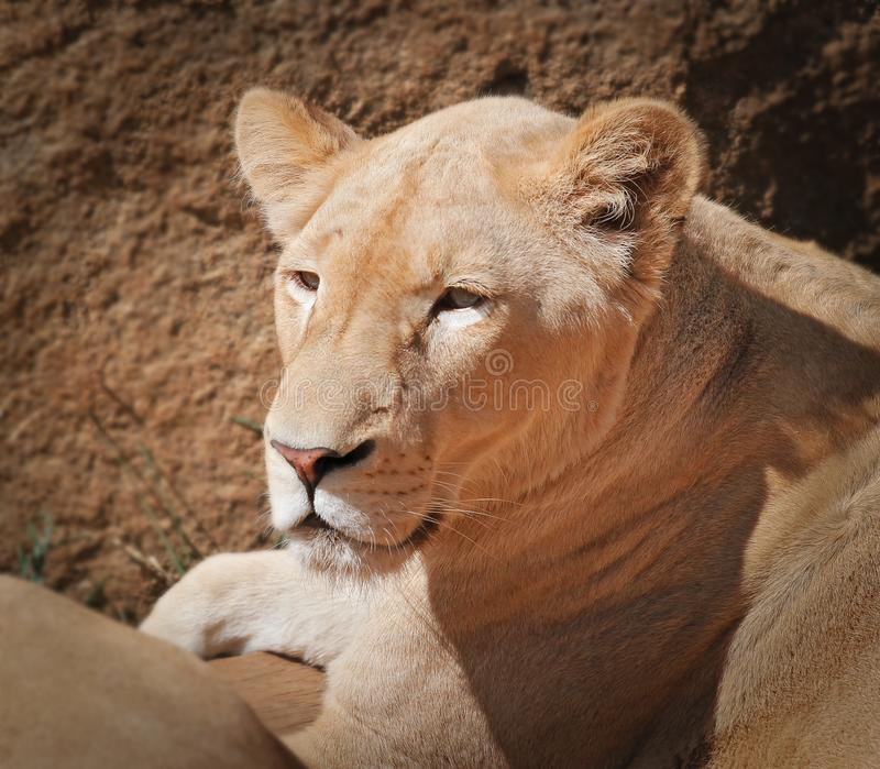 Nice portrait of a lioness stock photography