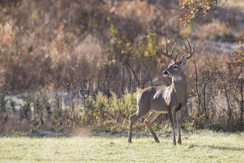 Nice Profile of mature whitetail Buck stock photography