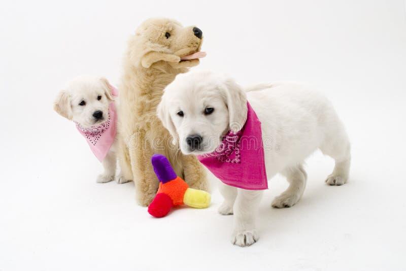 Nice puppies royalty free stock image