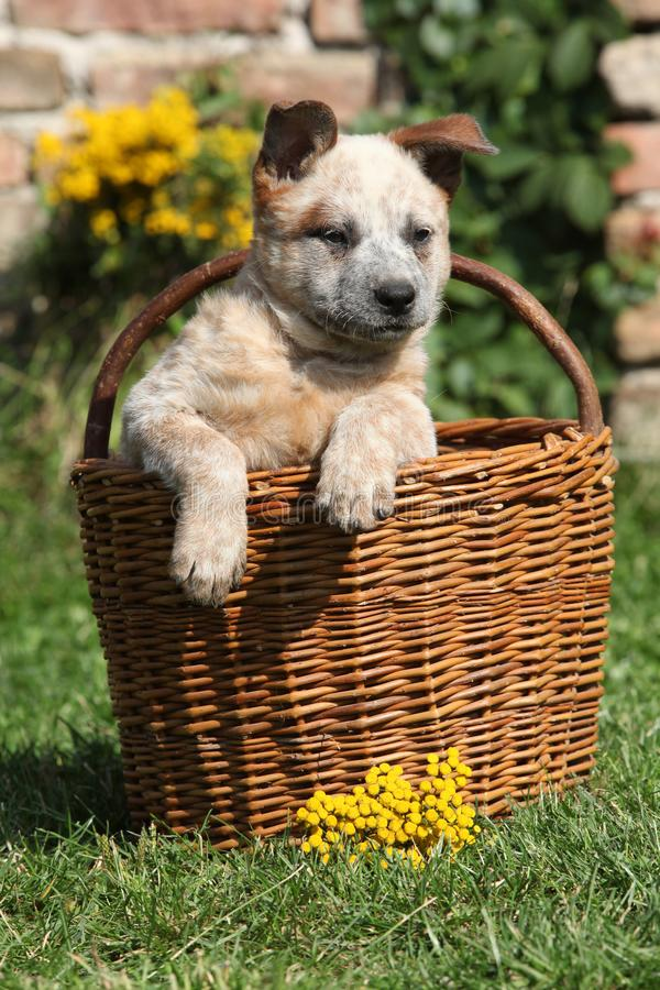 Nice puppy of Australian Cattle Dog in brown basket stock photos