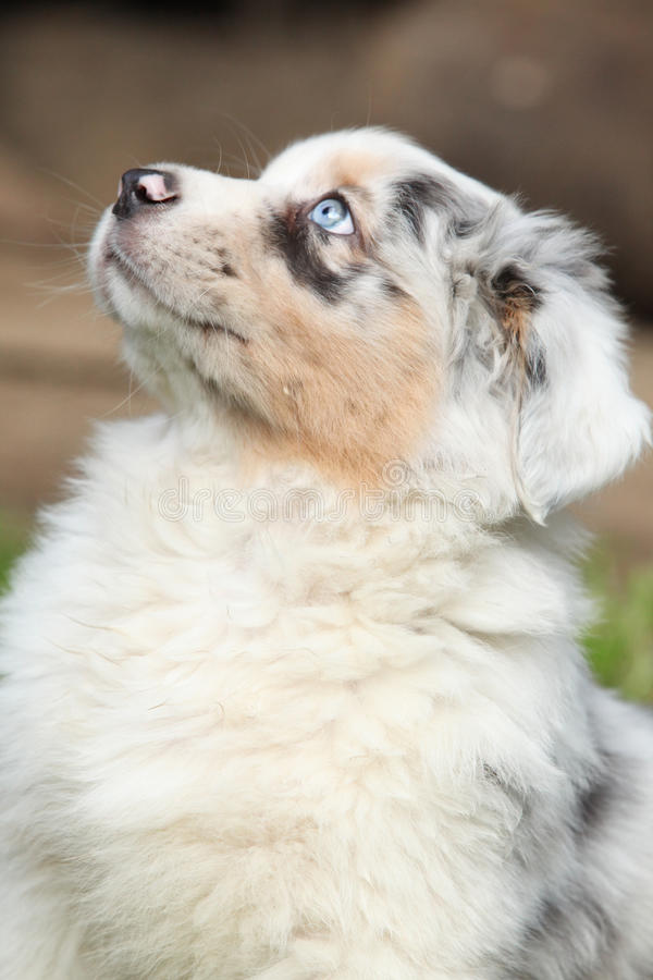 Nice puppy with blue eye royalty free stock photo