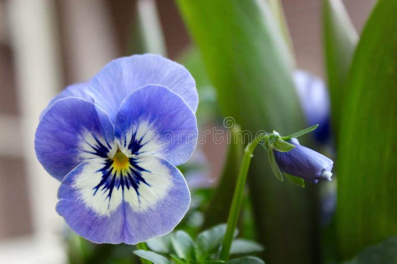 The nice purple flower is growing in the garden stock images