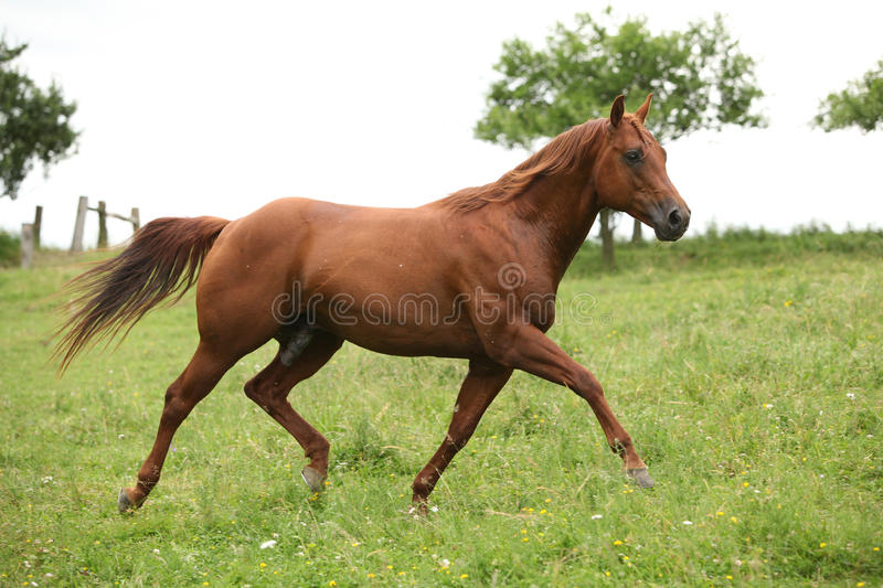 Nice Quarter horse stallion running on pasturage. In summer royalty free stock image