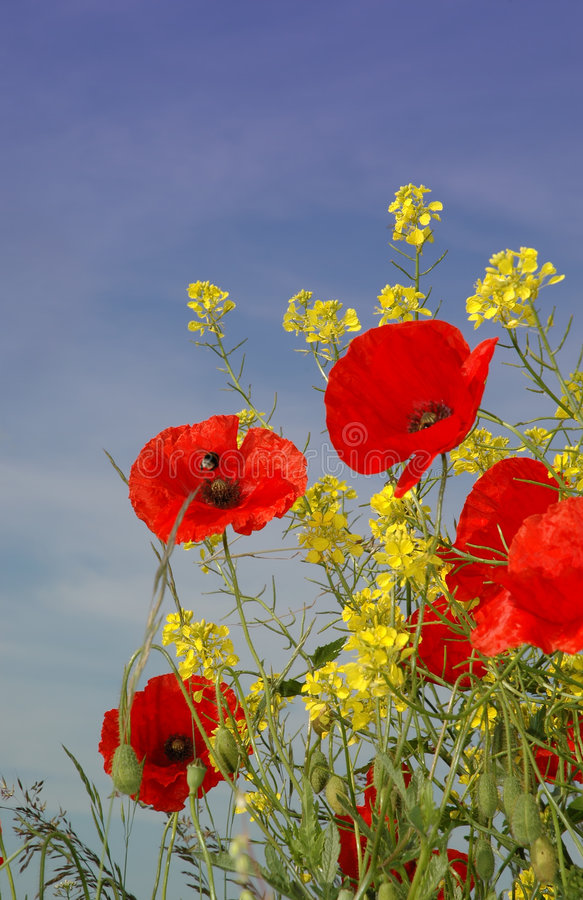 Nice red Poppies. A bee is searching for nectar in these nice red Poppies. Together with some fresh yellow vegetation against a sunny blue sky stock photo