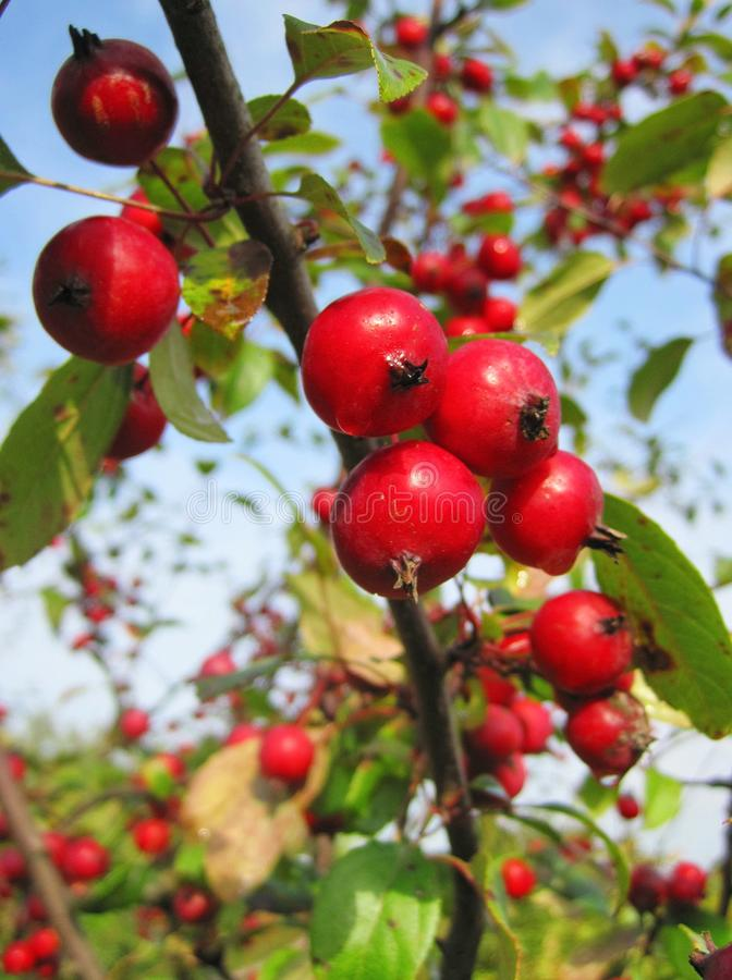 Little red ripe apples in garden, Lithuania stock photos