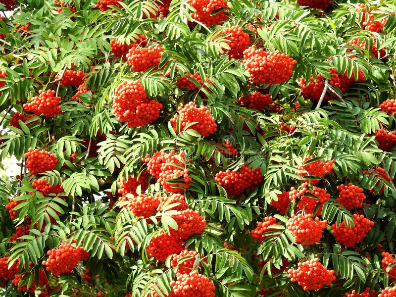 Beautiful red ripe rowan berries, Lithuania stock image