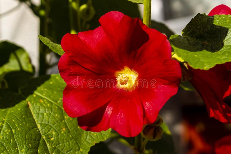 Nice red single mallow flower stock photography