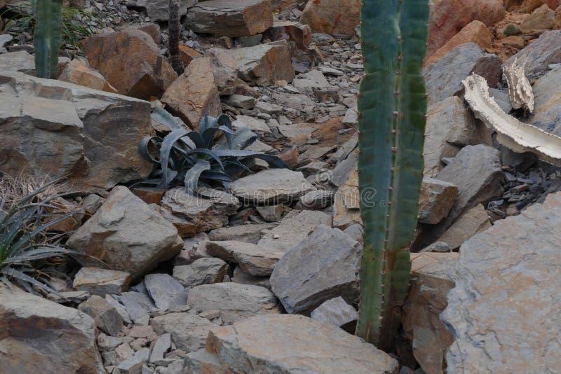 Desert vegetation. Nice rocky desert cactus vegetation stock images