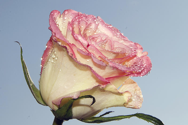 Download Nice rose stock photo. Image of reflections, drops, blue - 83702148