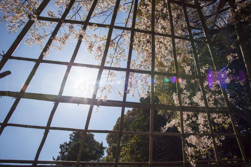 Nice Sakura Background Stock Photography