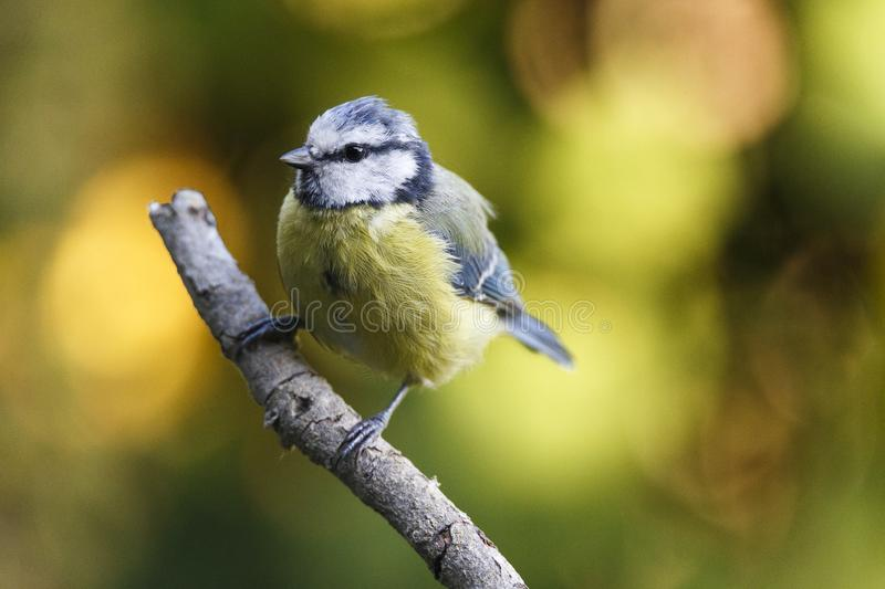 Nice small bird, called Blue tit cyanistes caeruleus posed over a branch, with an out of focus background.  stock photography