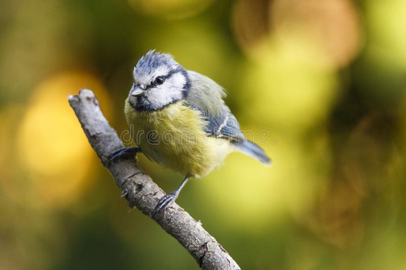 Nice small bird, called Blue tit cyanistes caeruleus posed over a branch, with an out of focus background.  royalty free stock photography