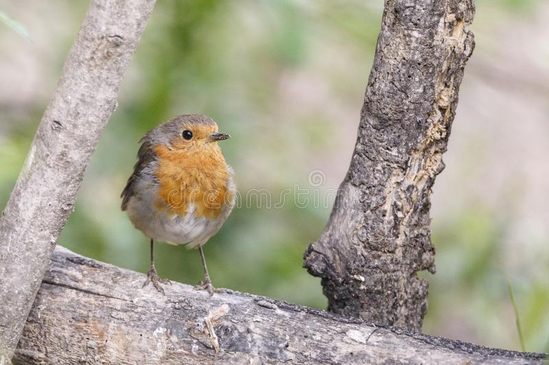 Nice small bird, called European Robin erithacus rubecula posed over a branch, with an out of focus background royalty free stock image