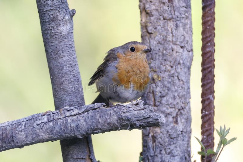 Nice small bird, called European Robin erithacus rubecula posed over a branch, with an out of focus background.  stock photography
