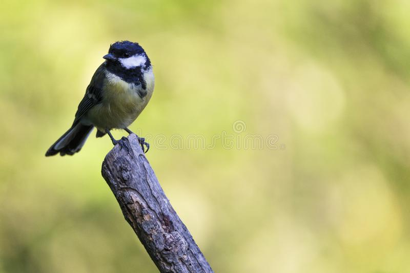 Nice small bird, called Great Tit parus major posed over a branch, with an out of focus background.  royalty free stock photos