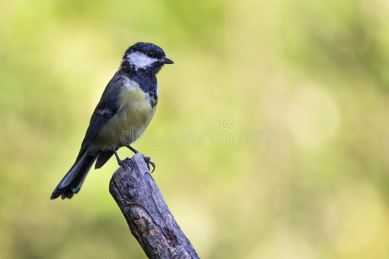 Nice small bird, called Great Tit parus major posed over a branch, with an out of focus background.  stock images