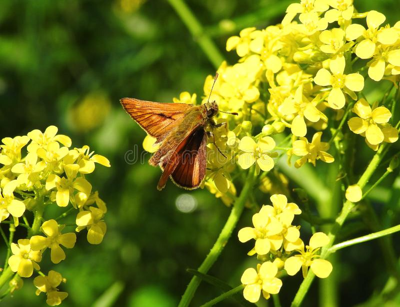 Beautiful brown butterfly on yellow flower, Lithuania. Nice small brown butterfly on yellow wild flowers stock photos