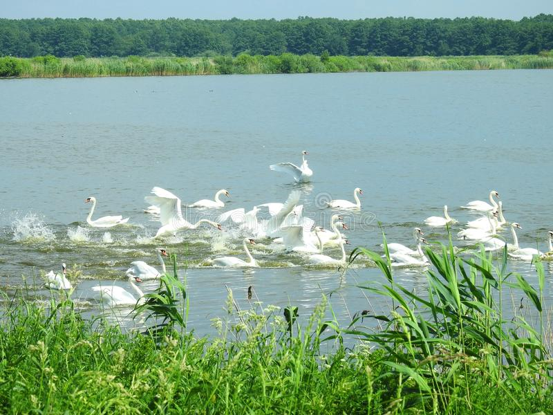 Beautiful white swans in small lake, Lithuania stock images