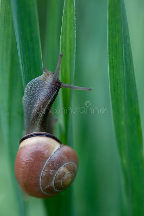 Nice snail posed on green background. Nice snail climb up to green tulip royalty free stock photos