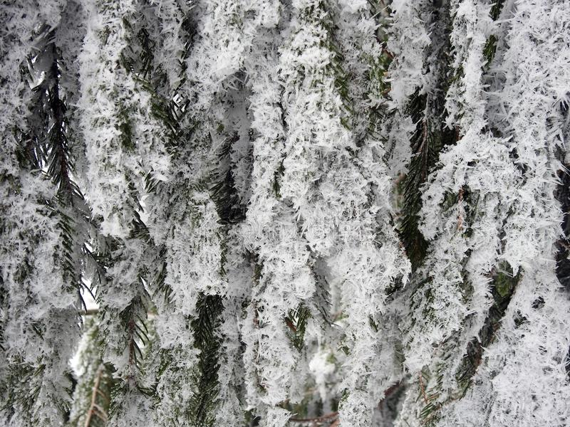 Beautiful snowy fir tree branches, Lithuania stock images