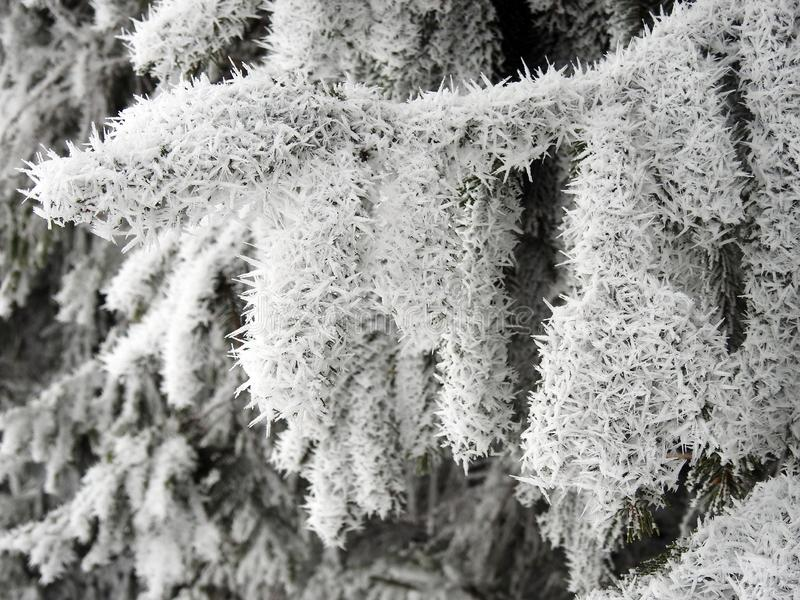 Beautiful snowy fir tree branches, Lithuania royalty free stock photo
