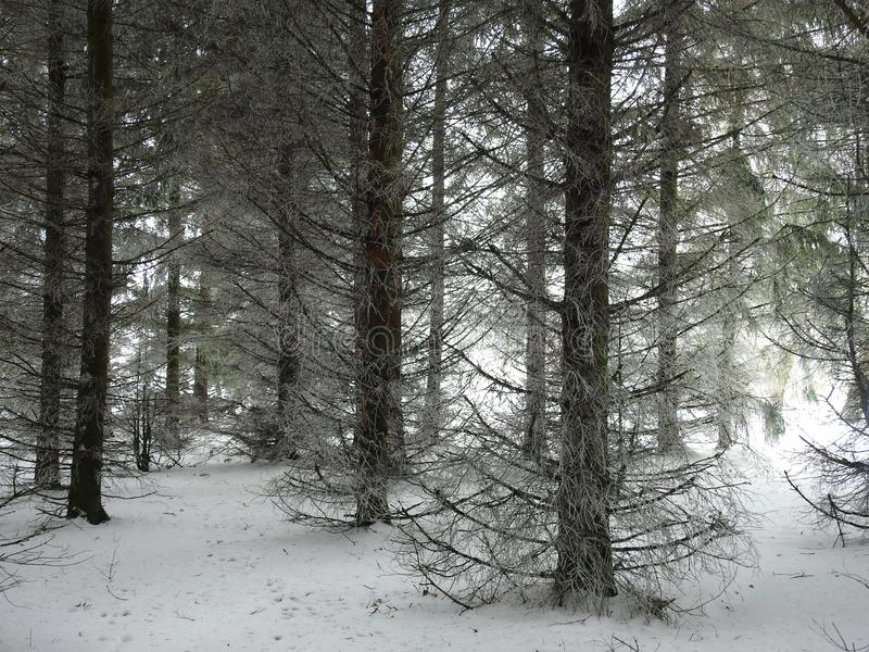 Beautiful snowy fir trees , Lithuania stock photography