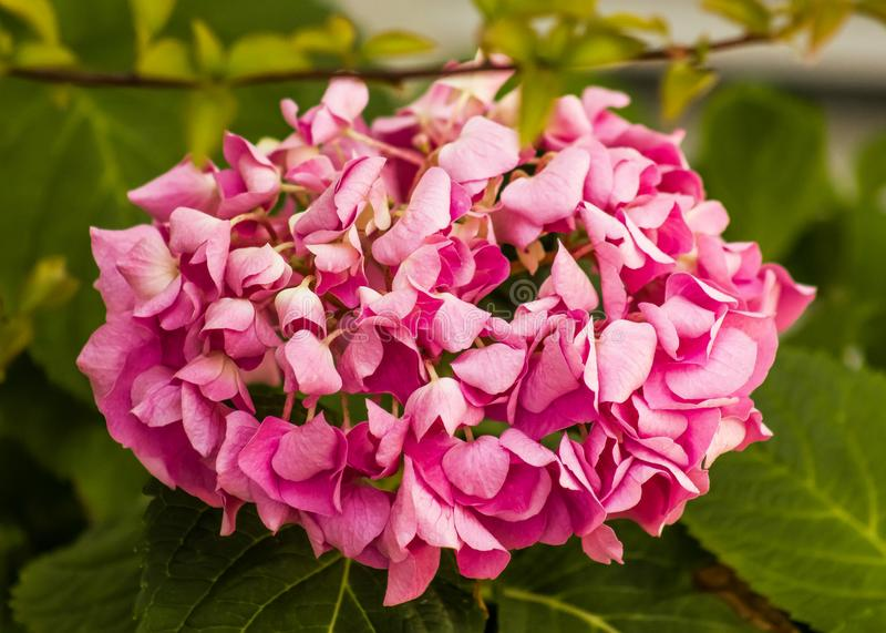 Splendurous ornamental pink hydrangea flower royalty free stock photo