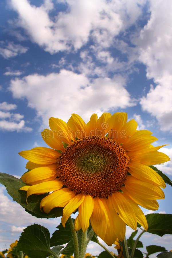 Nice sunflower royalty free stock photo