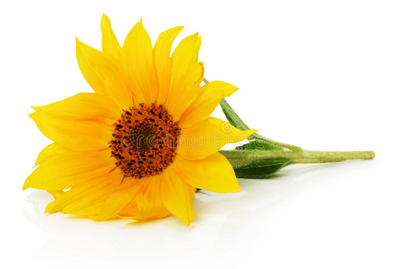 Nice sunflower isolated on the white background royalty free stock photography