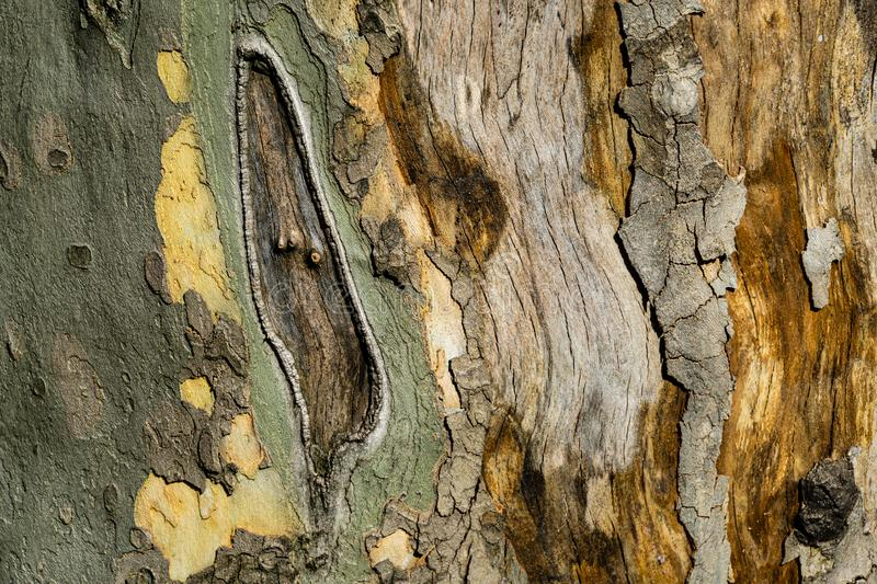 Nice texture of American Sycamore Tree Platanus occidentalis, Plane-tree bark. Natural green, yellow, gray and brown. Spotted platanus tree bark. Close-up of stock image