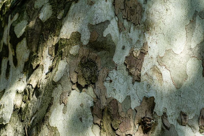 Nice texture of American Sycamore Tree Platanus occidentalis, Plane-tree bark with sunny shadows. Natural green, yellow, gray and brown spotted platanus tree royalty free stock photos