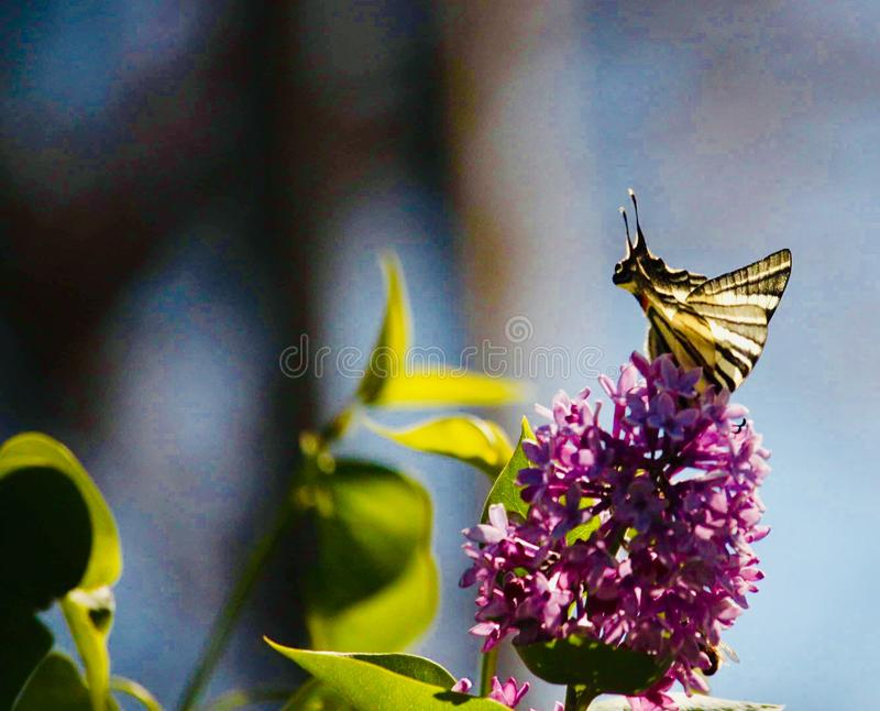Gorgeus view with a butterfly on liliac flower royalty free stock photo
