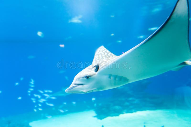 Nice view of big ray royalty free stock photography
