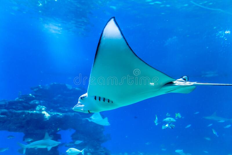 Nice view of big ray stock photo