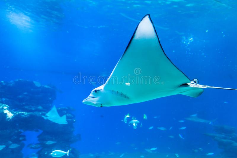 Nice view of big ray royalty free stock photo