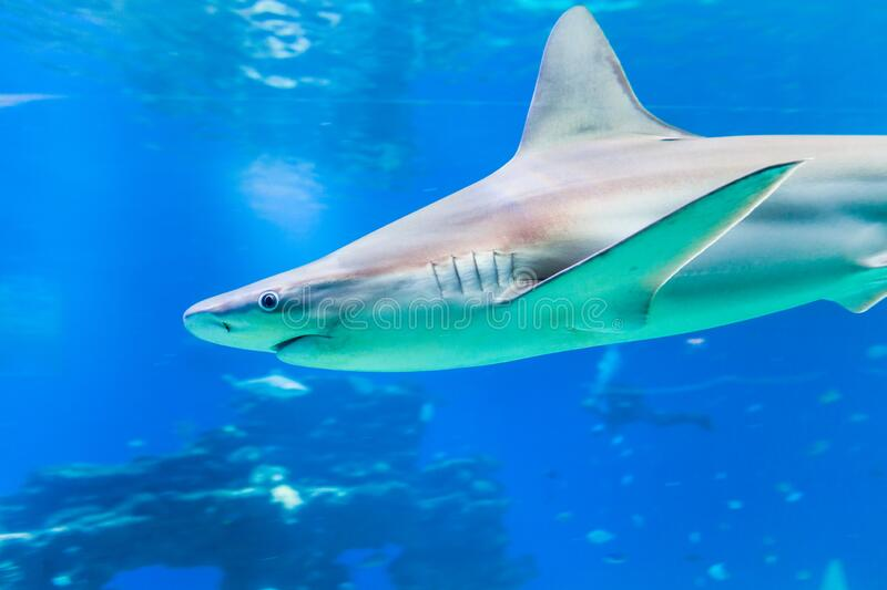 Nice view of big shark royalty free stock photography