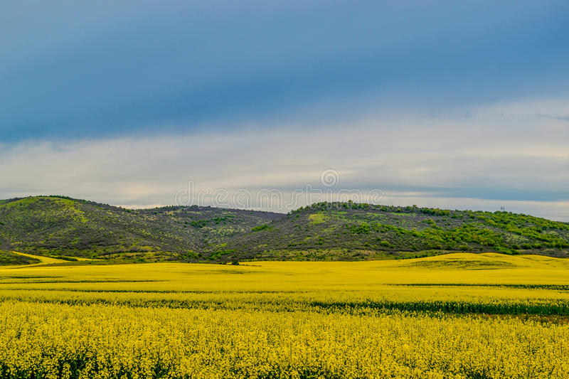 Nice view of the flowering rapeseed field stock photos