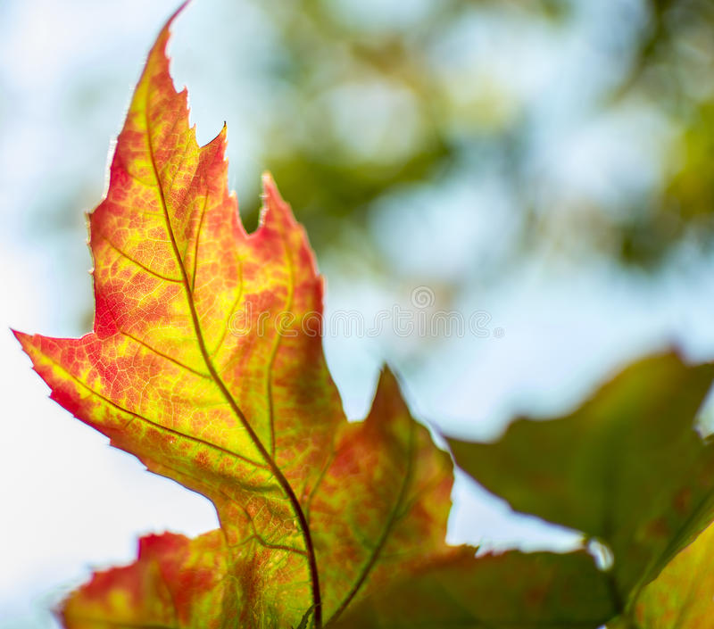 Warm red, orange and yellow fall leaf royalty free stock photo