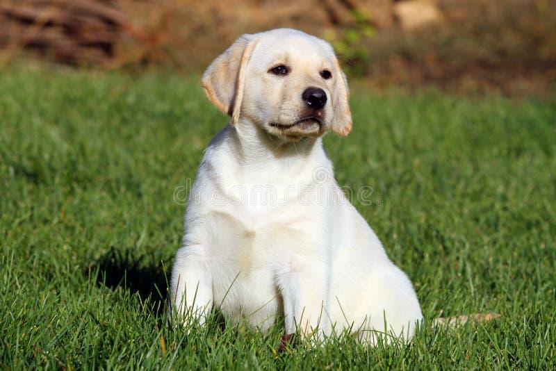 Nice weinig leuk geel puppy van Labrador in de graszomer royalty-vrije stock fotografie