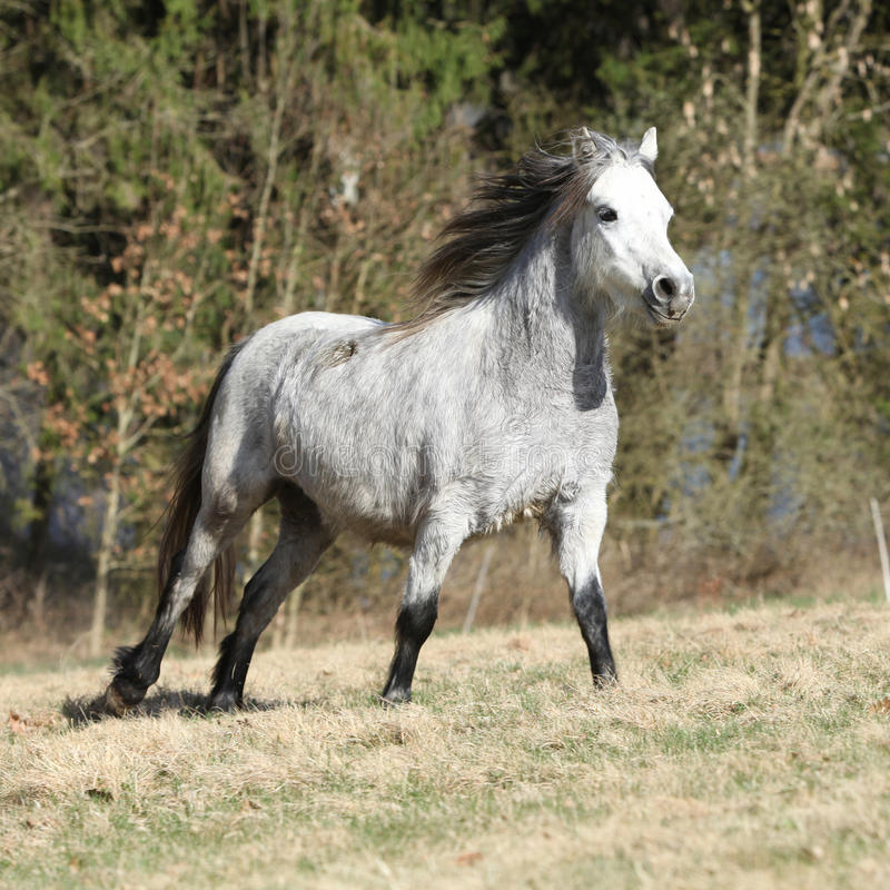 Nice Welsh Mountain Pony Running On Pasturage Stock Photo