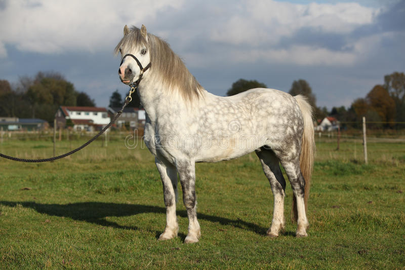 Download Nice Welsh Mountain Pony Stallion With Halter Stock Image - Image: 30272093