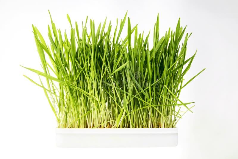 Nice Wheat grass royalty free stock photos