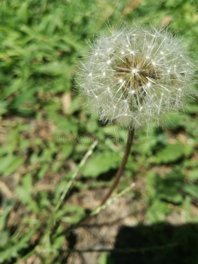 Nice white dandelion macro photo stock image