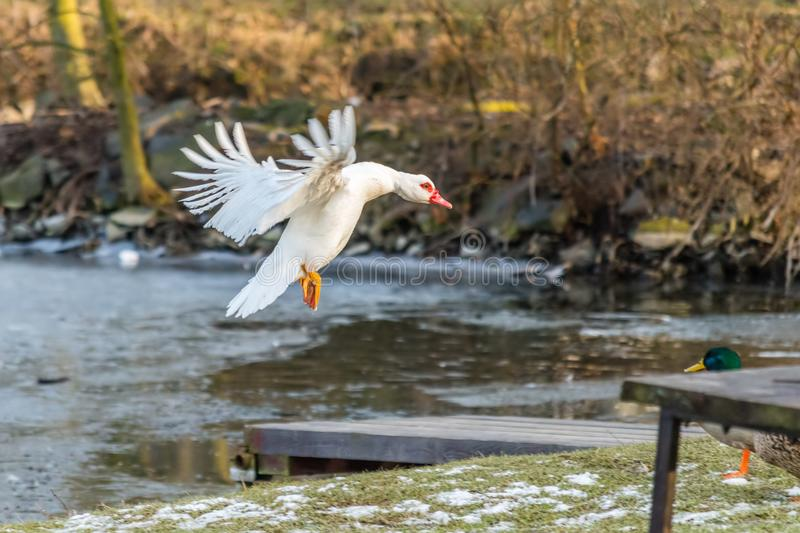 Nice white duck or muscovy duck landing on grass near lake stock photos