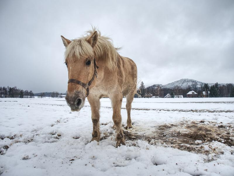 Nice white horse in fresh first snow. Snowy pasture royalty free stock photography